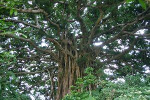喜界島にあるガジュマルの木